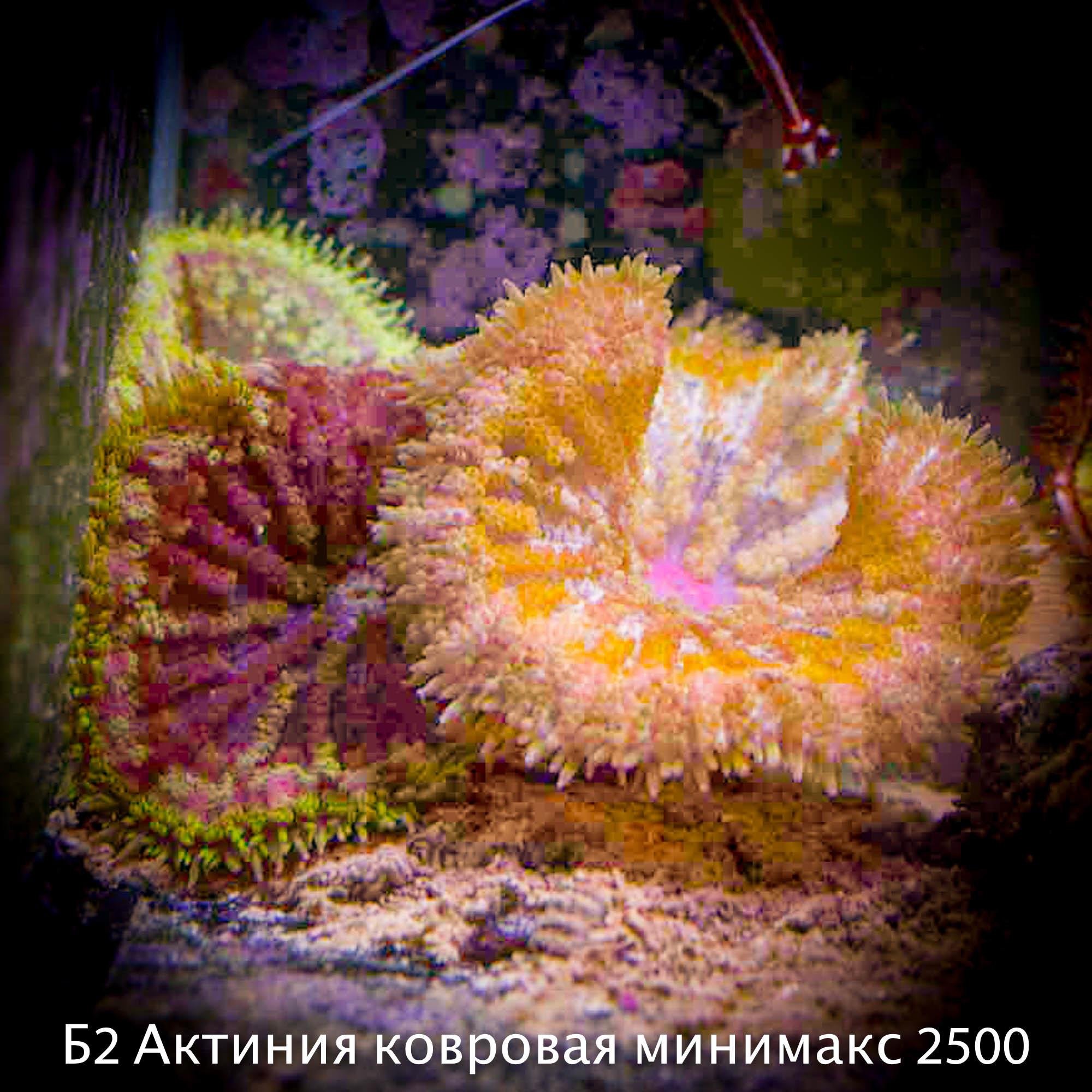 Б2 Актиния ковровая минимакс 2500 (фото, вид 1)