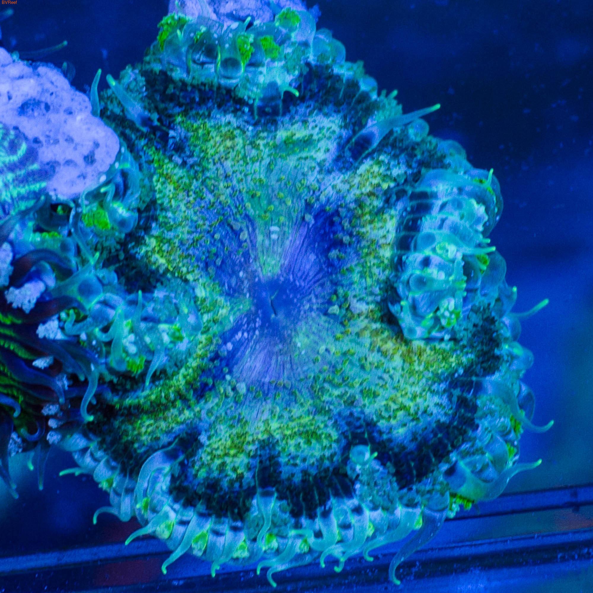 Б38 Анемон Мультиколор Rock Flower Anemon 3000 (фото, вид 1)
