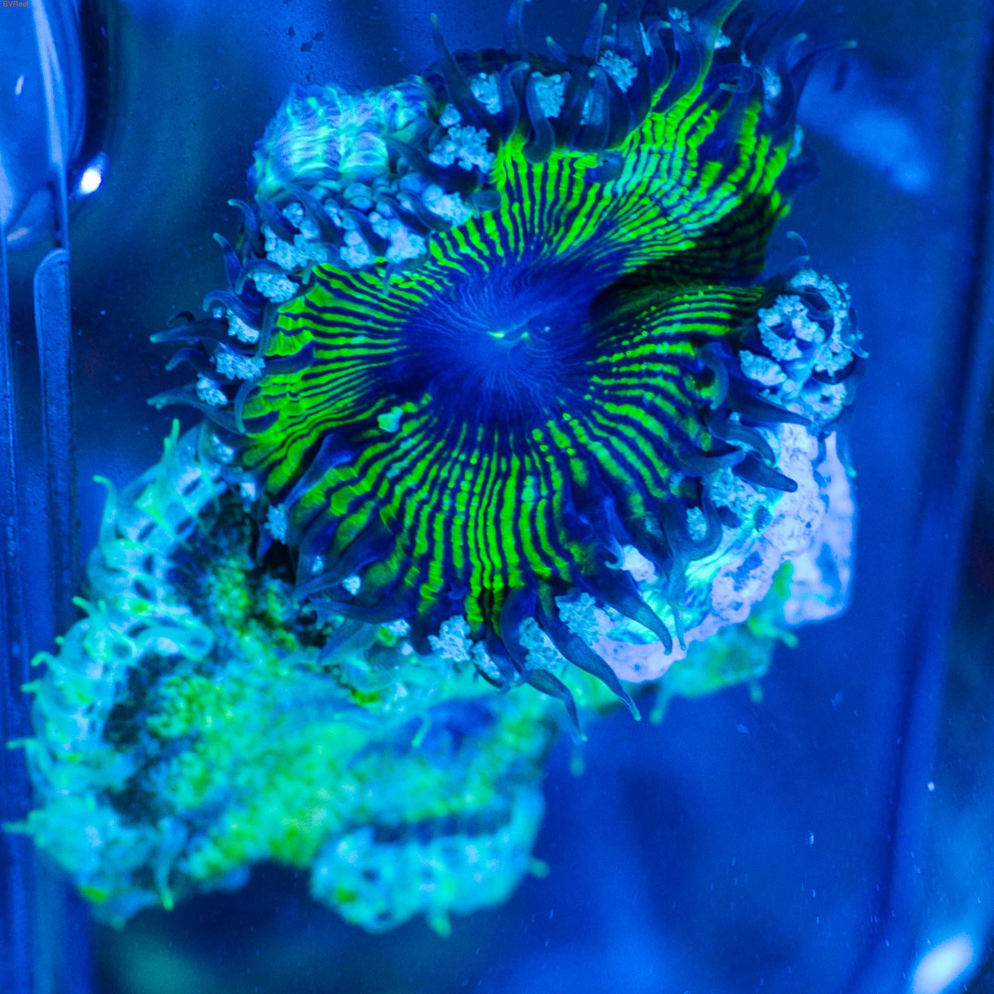 Б38 Анемон Мультиколор Rock Flower Anemon 3000 (фото, вид 2)
