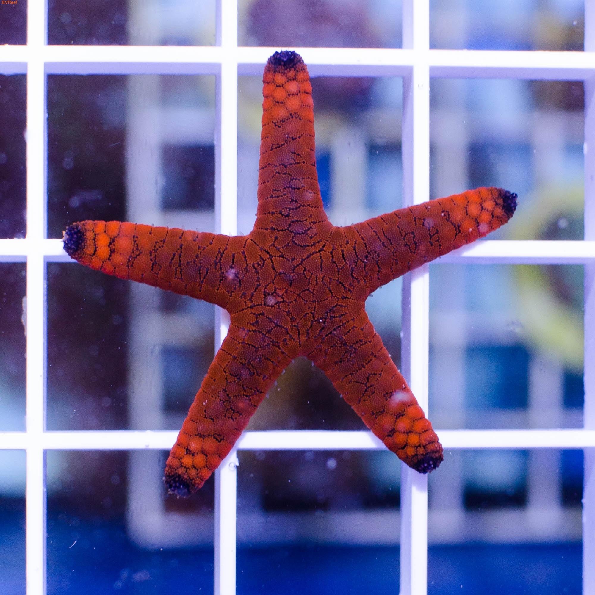 Звезда красная Fromia elegans (фото, вид 1)
