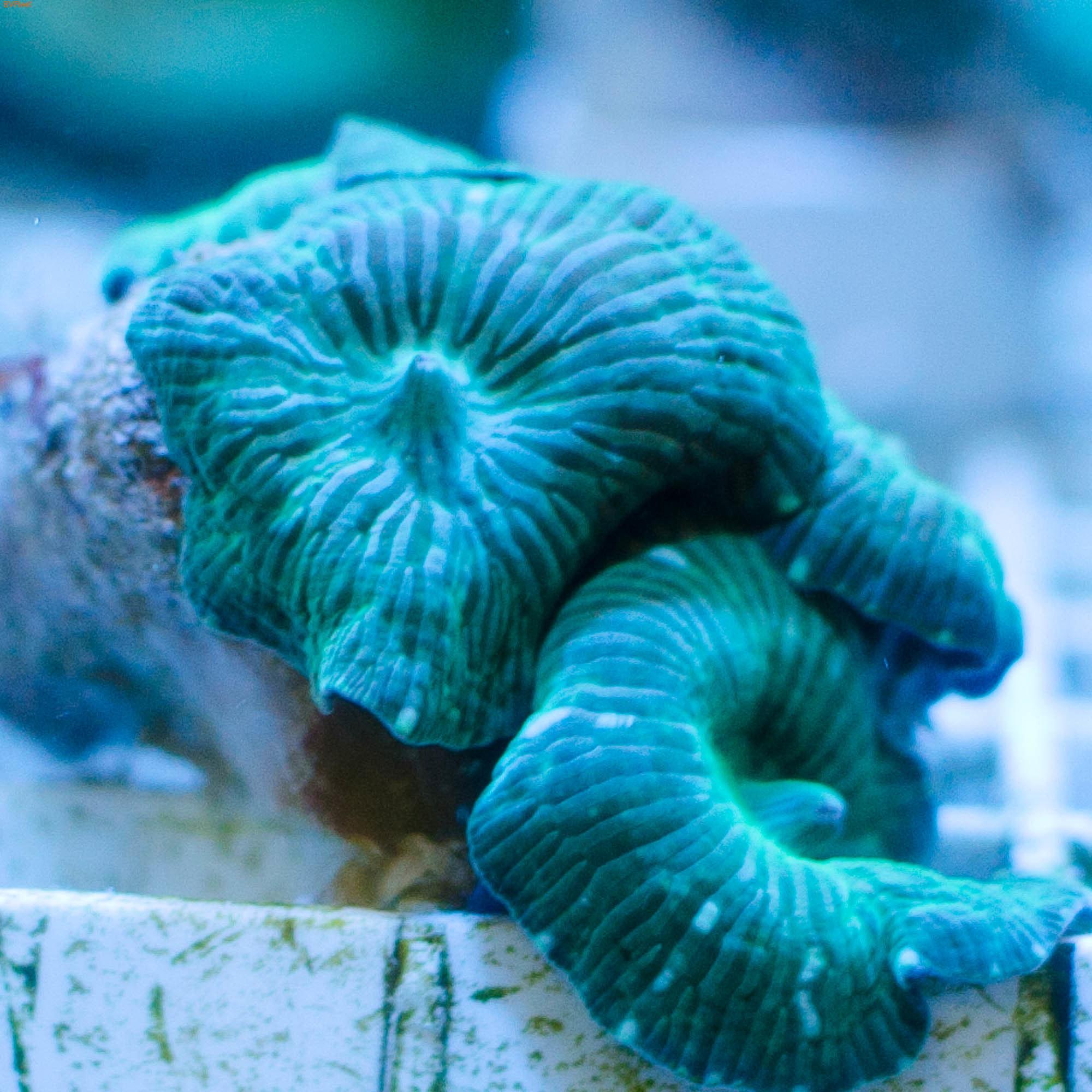 Дискосома зеленая (фото, вид 1)
