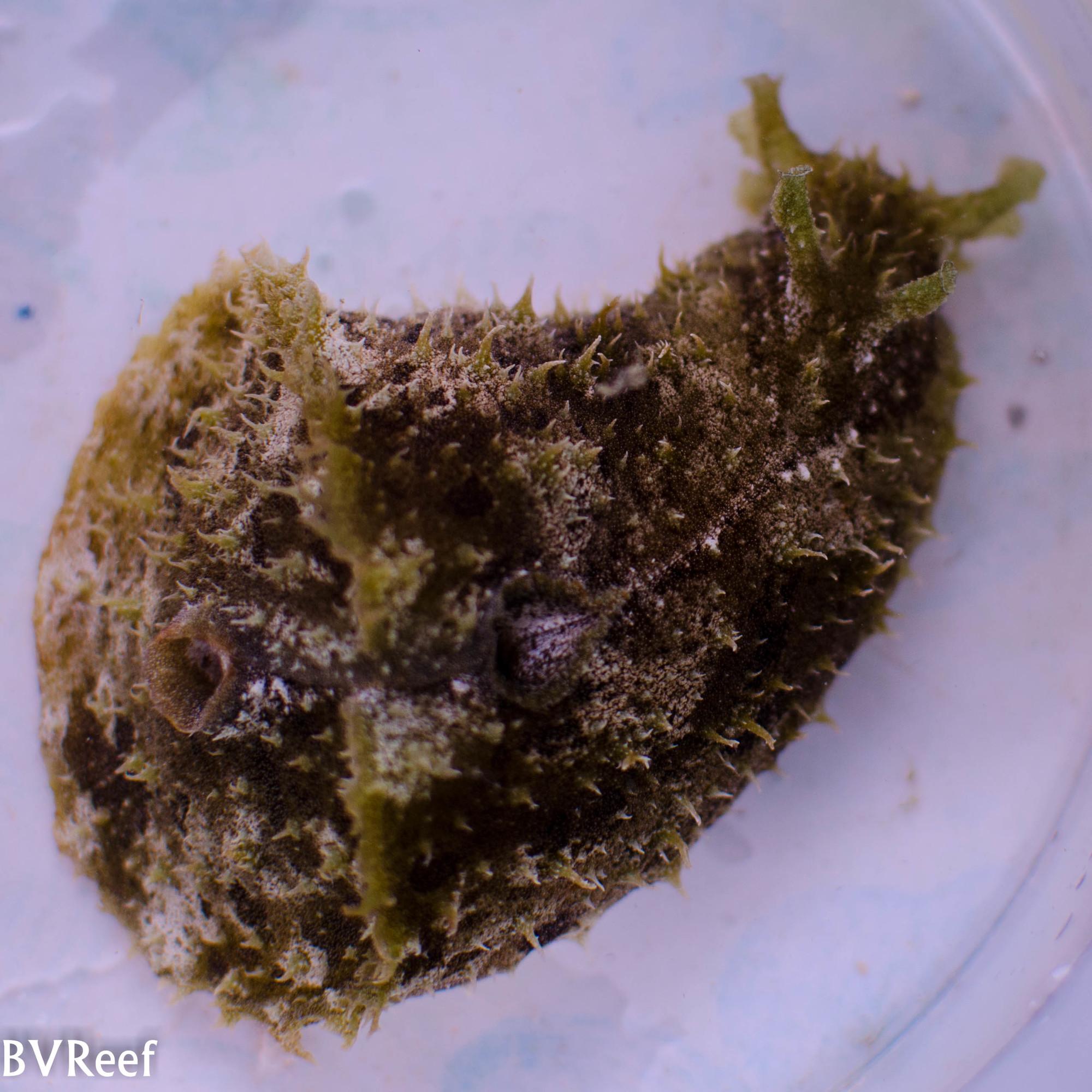 Б5 Заяц морской Dolabella auricularia 1900