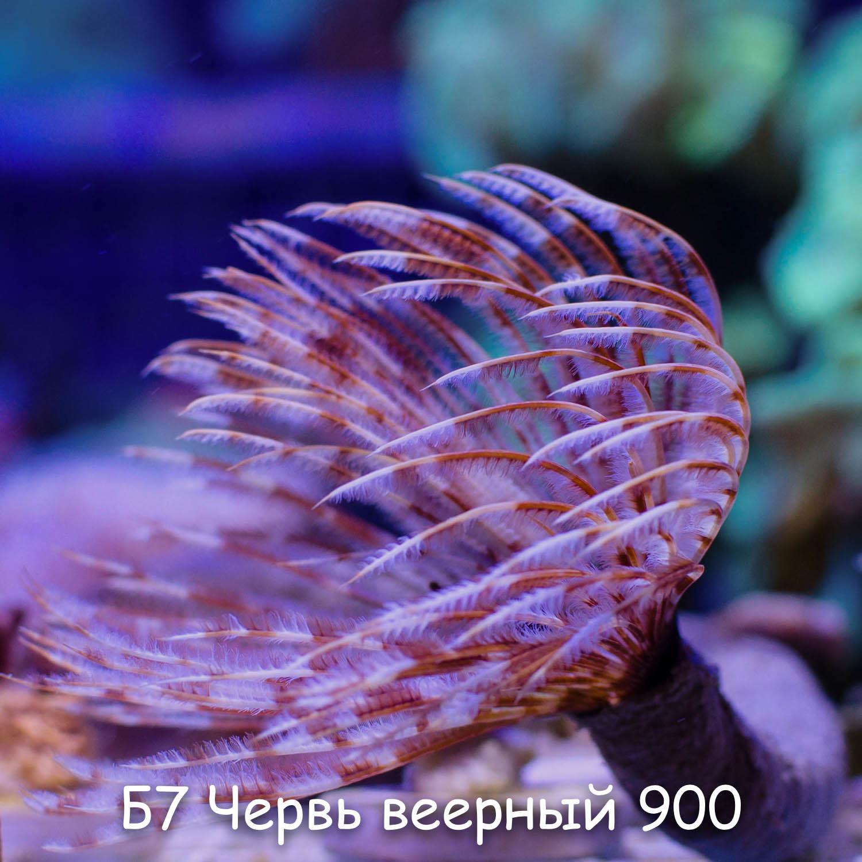 Б7 Червь веерный Spirographis spallanzanii 900