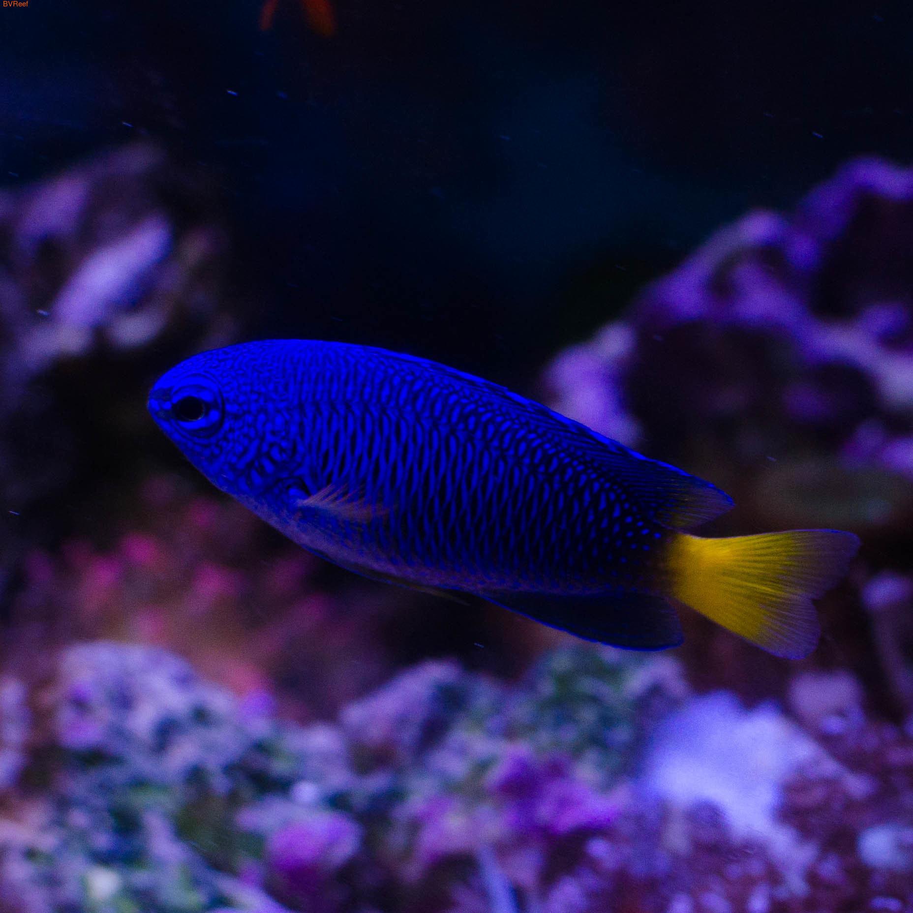 Ангел карликовый филлипинский сине-желтый Pomacentrus phillipinus
