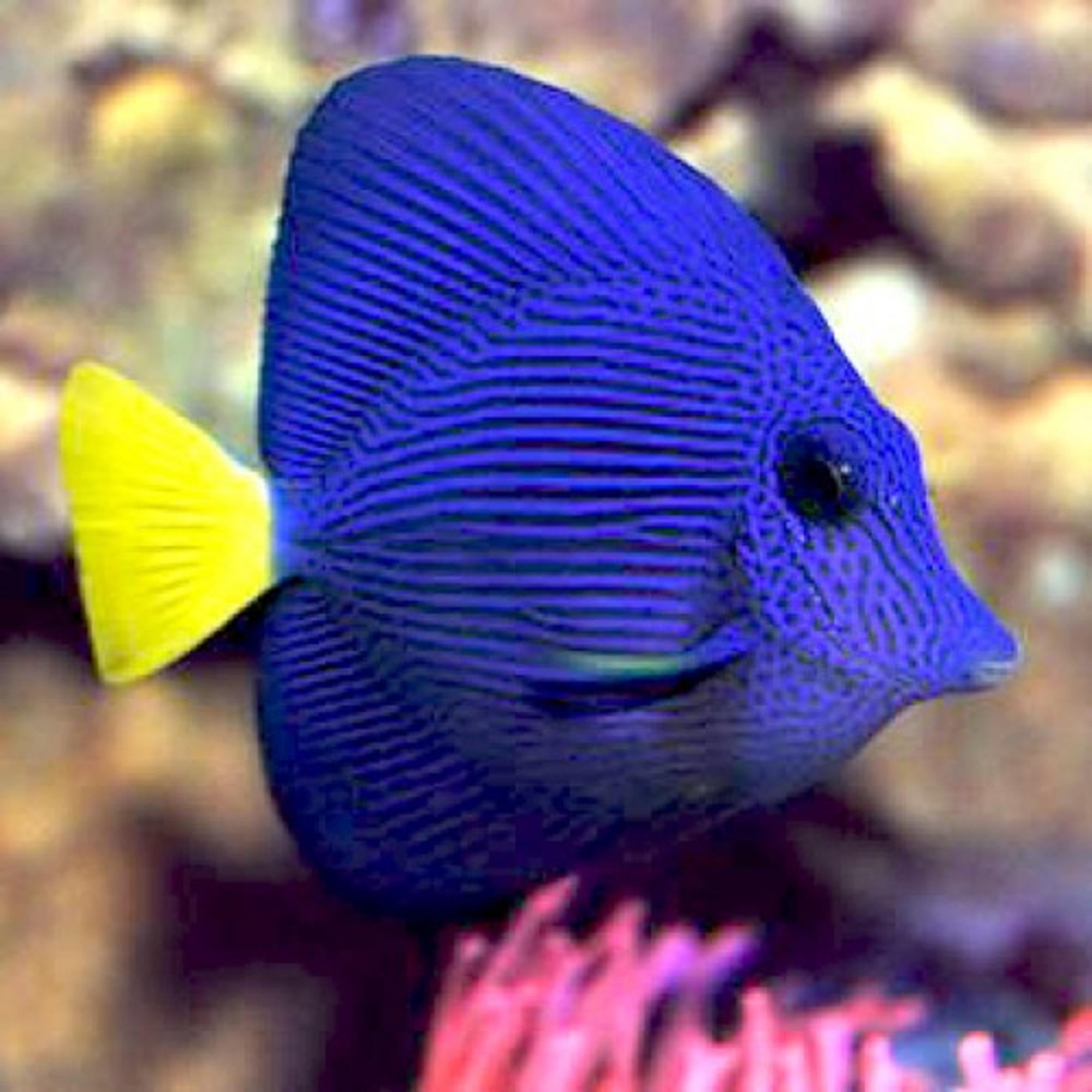 Зебрасома синяя желтохвостая (Zebrasoma xantrum)