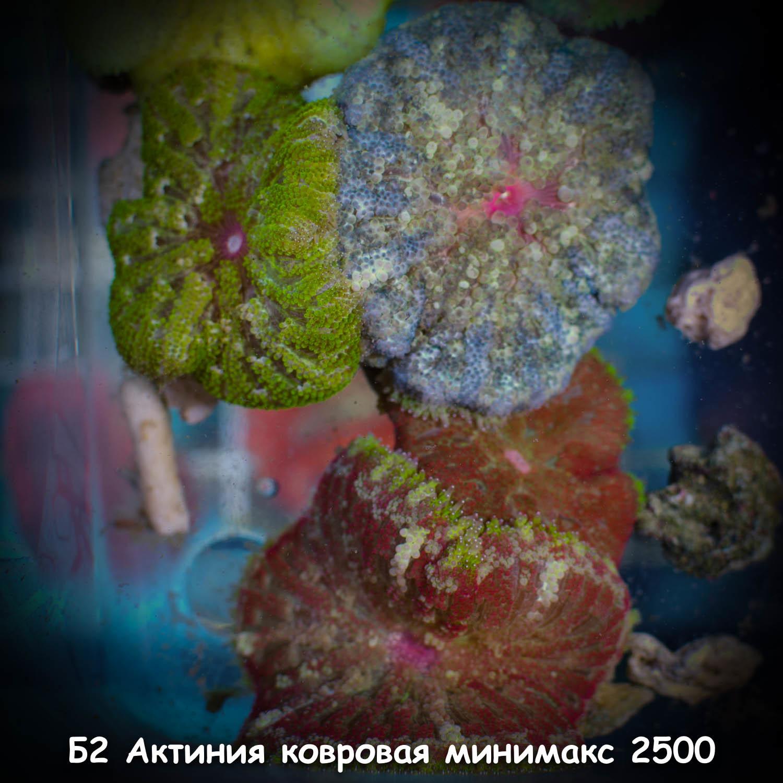 Б2 Актиния ковровая минимакс 2500 (фото)