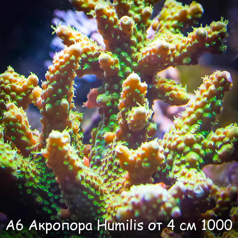 А6 Акропора Humilis от 4 см 1000