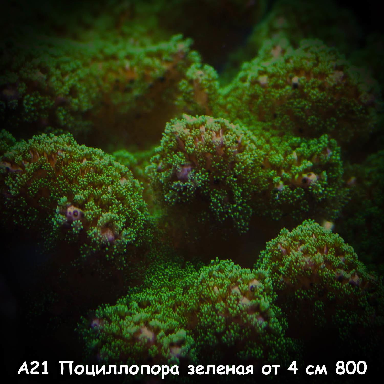 А21 Поциллопора зеленая от 4 см 800