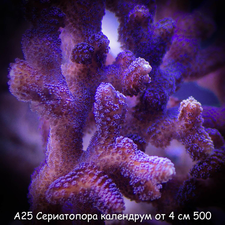 А25 Сериатопора календрум фиолетовый от 4 см 400