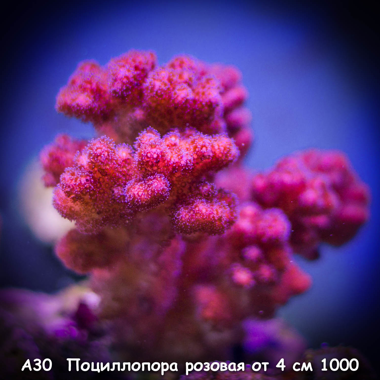 А30 Поциллопора розовая Purple Stylophora ORA от 4 см 1000