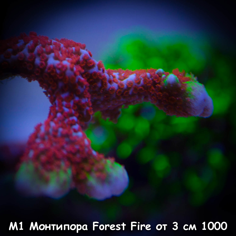 М1 Монтипора Forest Fire от 3 см 1000