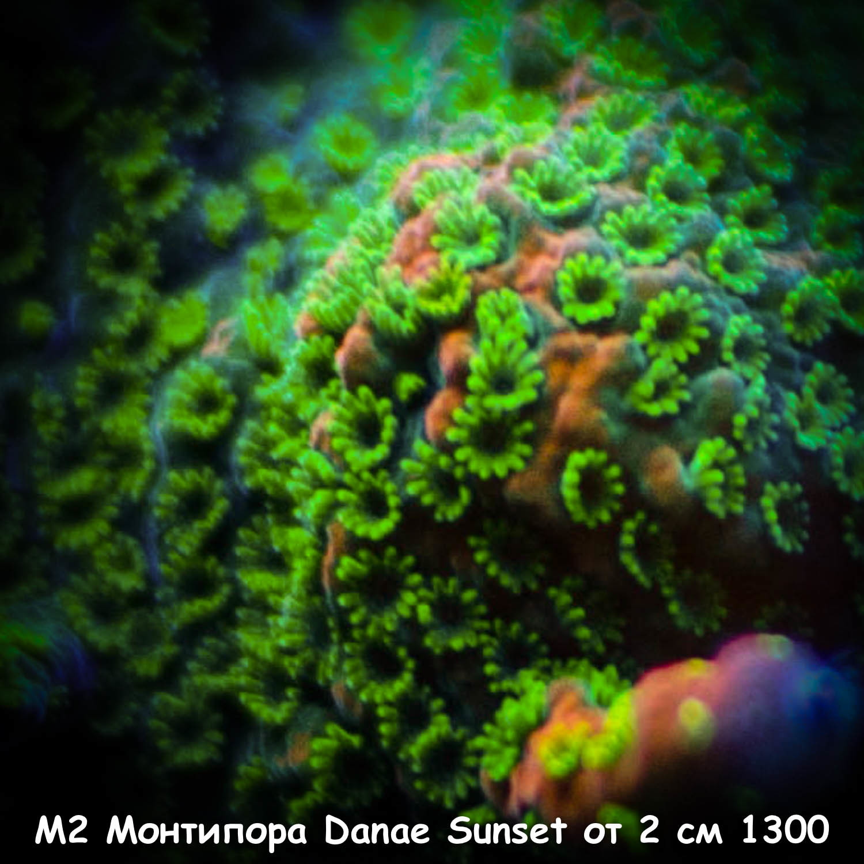 М2 Монтипора инкрустирующая Danae Sunset от 2 см 1300
