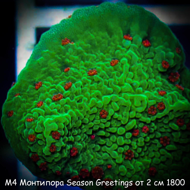 М4 Монтипора инкрустирующая Season Greetings от 2 см 1800