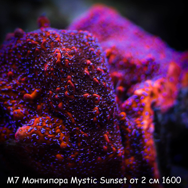 М7 Монтипора Mystic Sunset от 2 см 1600