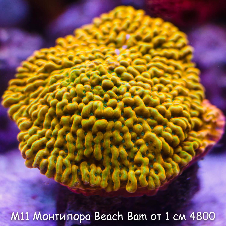 М11 Монтипора инкрустирующая Beach Bam JF от 1 см 4800