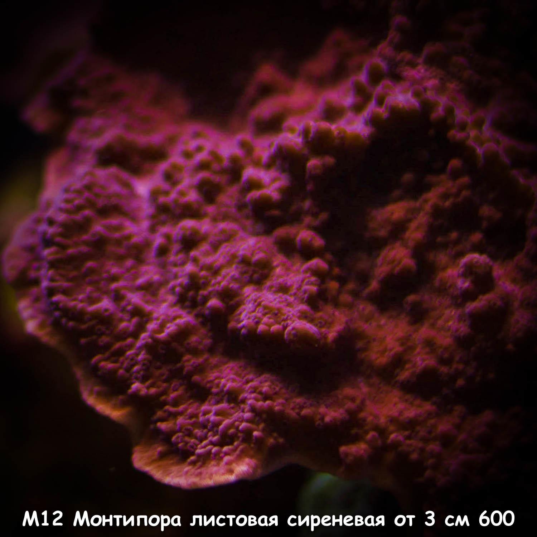 М12 Монтипора листовая сиреневая (M. capricornis ORA) от 3 см 600