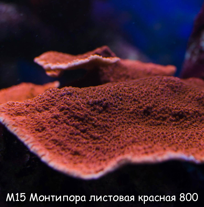 М15 Монтипора листовая красная (M. capricornis ORA) от 3 см 800