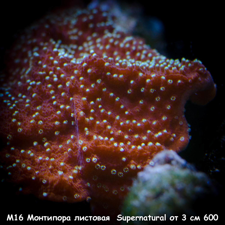 М16 Монтипора листовая Supernatural от 3 см 600
