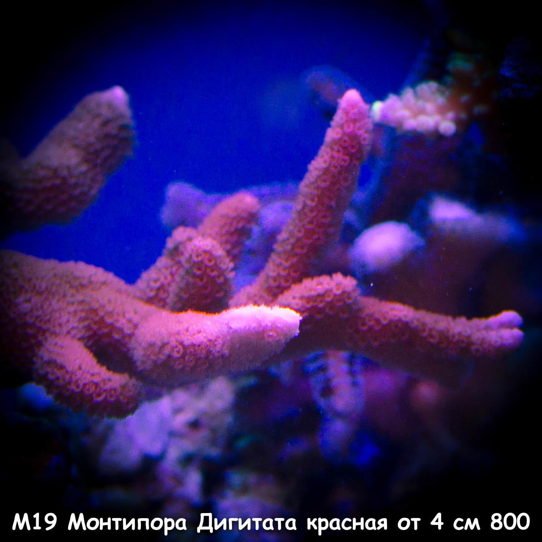 М19 Монтипора Дигитата красная от 4 см 800