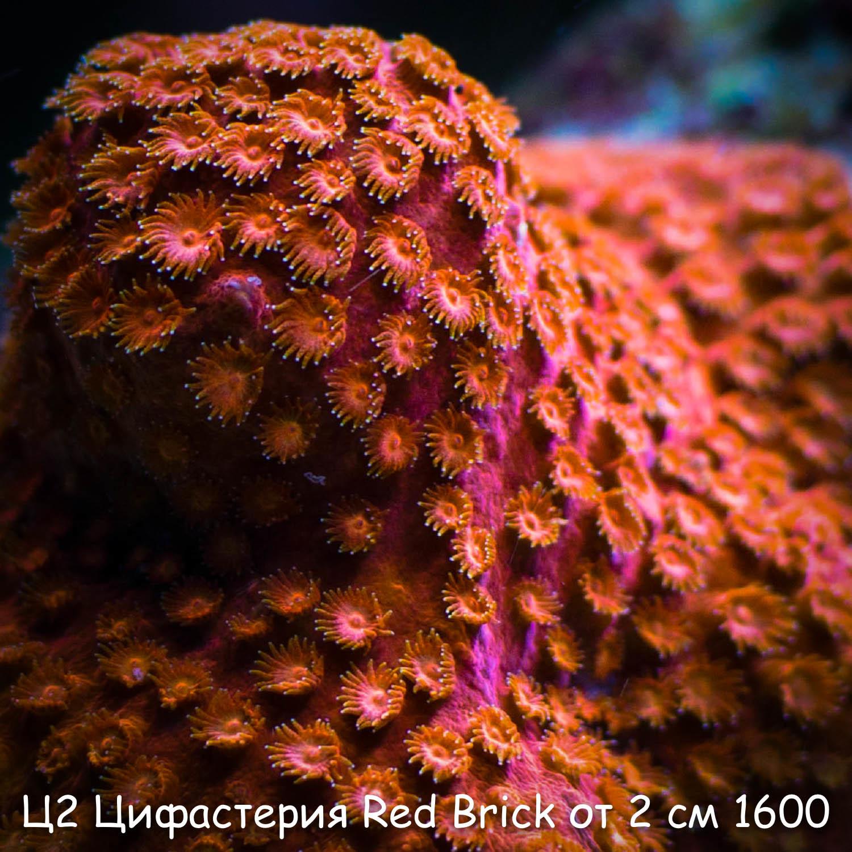 Ц2 Цифастерия Red Brick от 2 см 1600