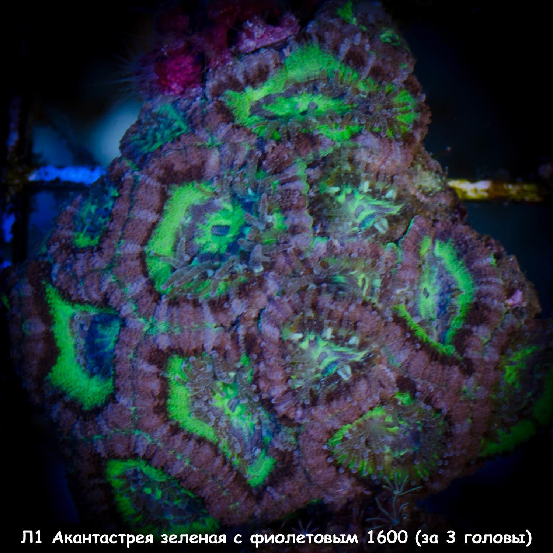 Л1 Акантастрея зеленая с фиолетовымAcanthastrea lordhowensis 1600 (за 3 головы)