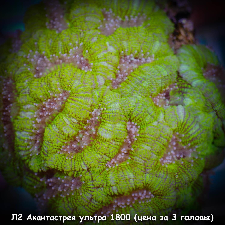 Л2 Акантастрея ультра-зеленая Acanthastrea lordhowensis 1800 (за 3 головы)