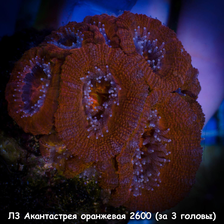 Л3 Акантастрея оранжевая Acanthastrea lordhowensis 2600 (за 3 головы)