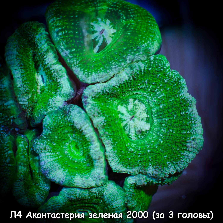Л4 Акантастерия зеленая Acanthastrea lordhowensis 2000 (за 3 головы)