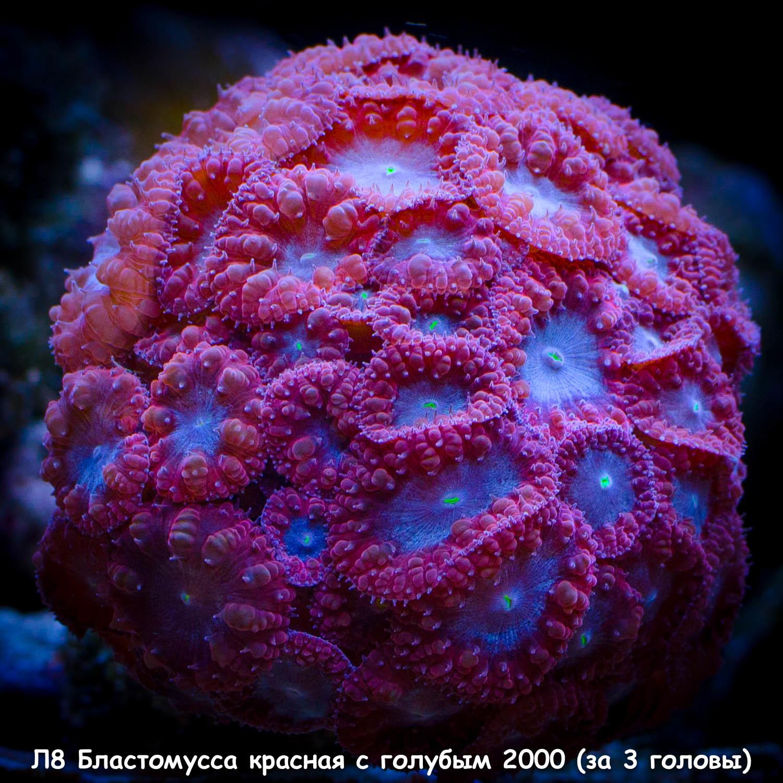 Л8 Бластомусса красная с голубым 2000 (за 3 головы)