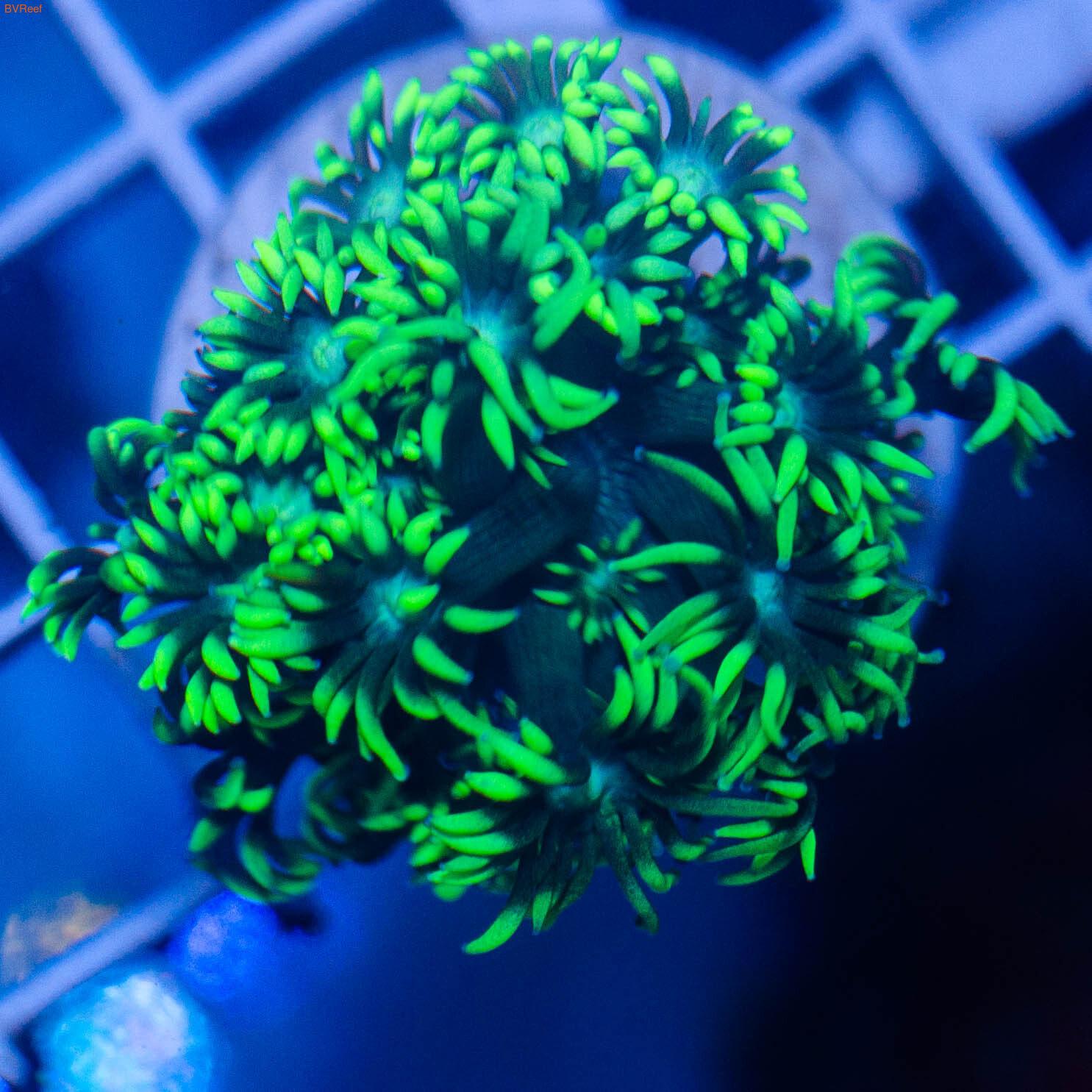 Л9 Гониопора фиолетовая от 3 см 1300