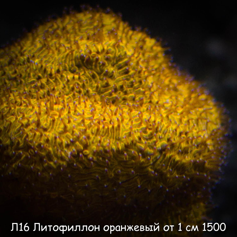 Л16 Литофиллон оранжевый от 1 см 1500