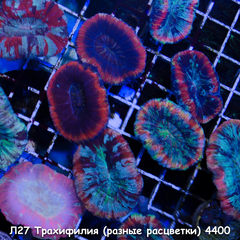 Л27 Трахифилия (есть разные расцветки) 4400