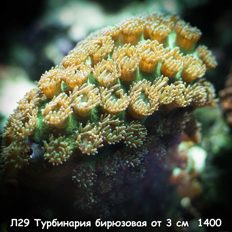 Л29 Турбинария бирюзовая от 3 см 1400