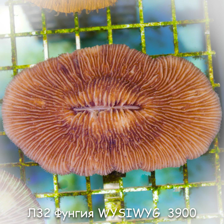 Л32 Фунгия WYSIWYG 3900