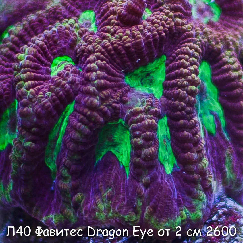 Л40 Фавитес Dragon Eye Ultra от 2 см 2600