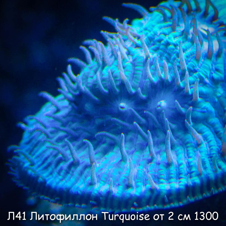 Л41 Литофиллон Turquoise Blue Eye от 2 см 1300