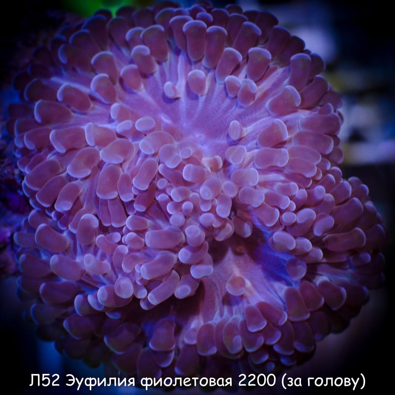 Л52 Эуфилия фиолетовая 2200 (за голову)