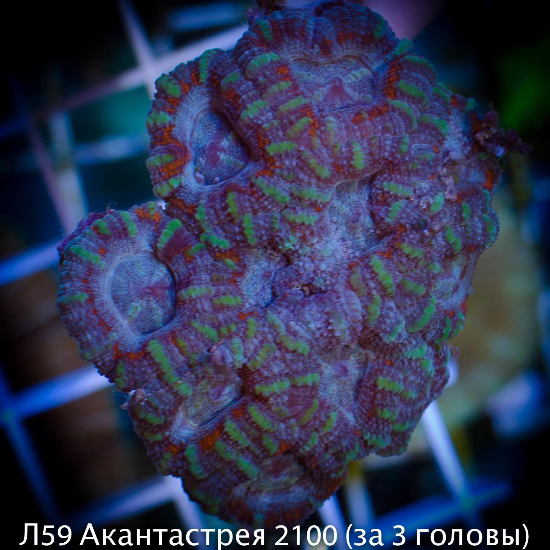 Л59 Акантастрея бирюзовая Acanthastrea lordhowensis 2100(за 3 головы)