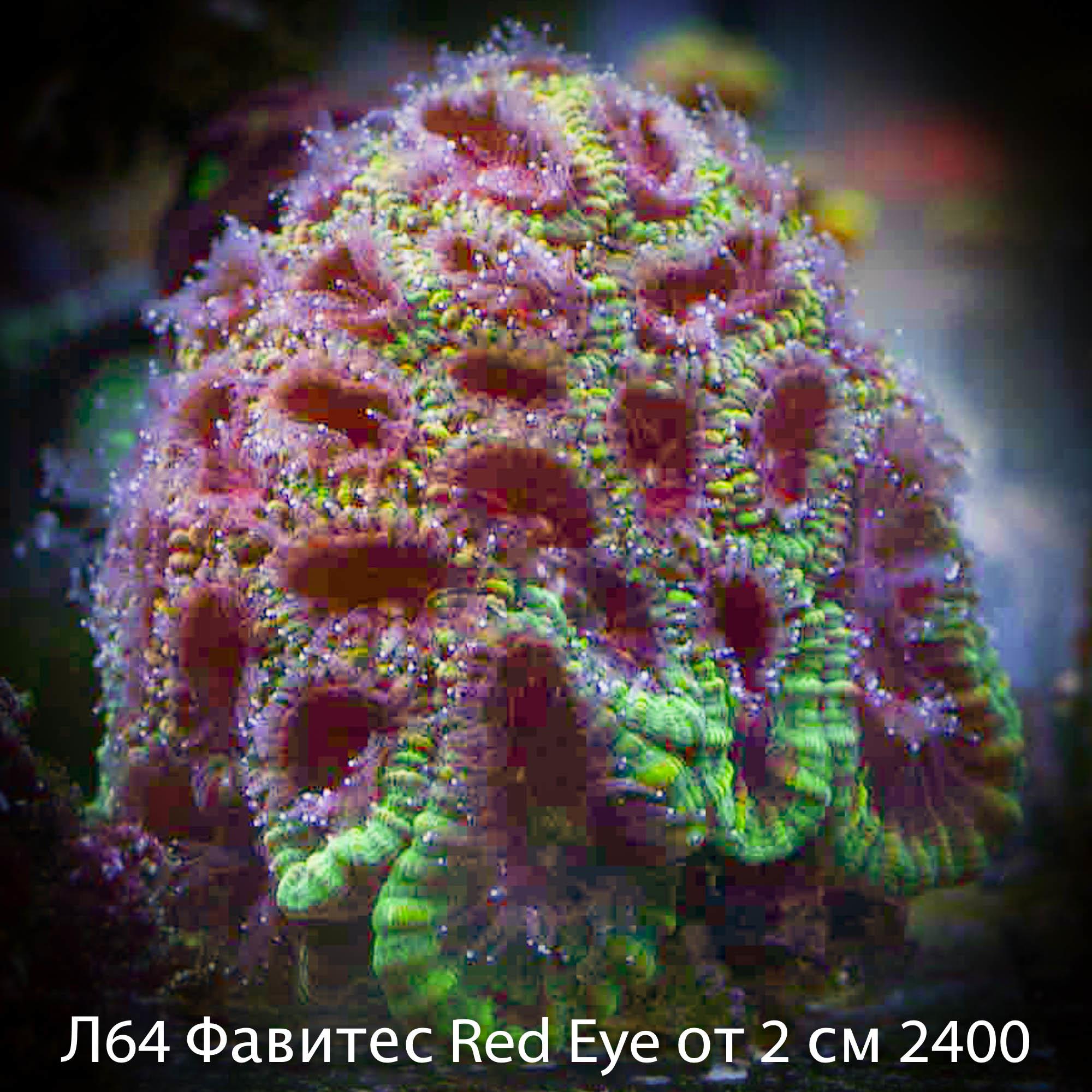 Л64 Фавитес Red Eye от 2 см 2400