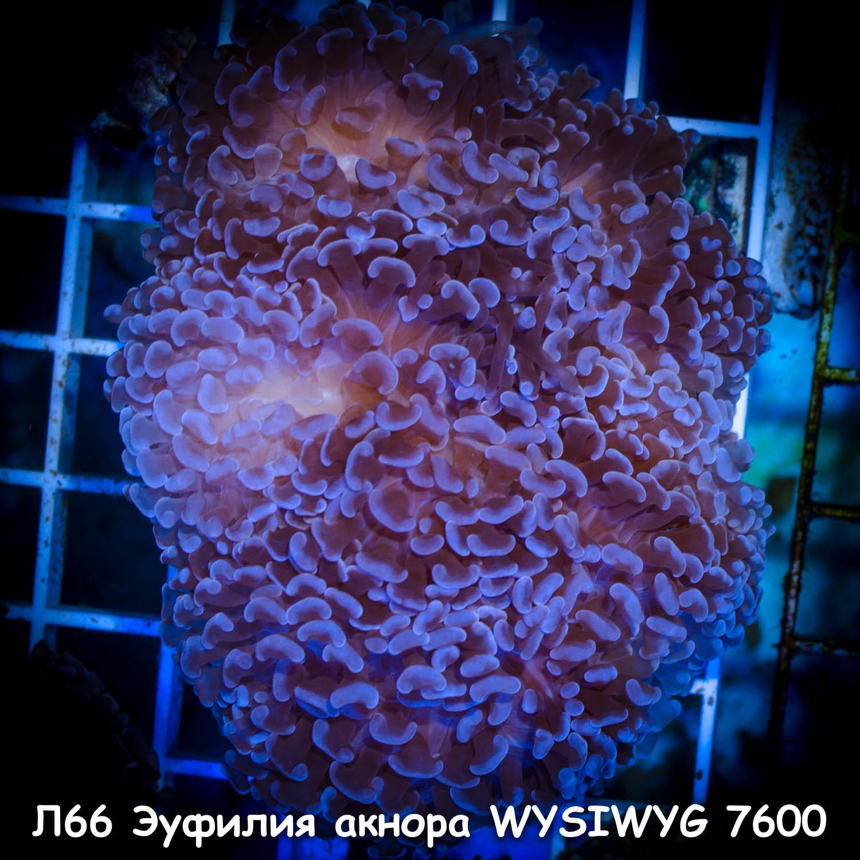 Л66 Эуфилия фиолетовая акнора 12-14 см WYSIWYG 7600