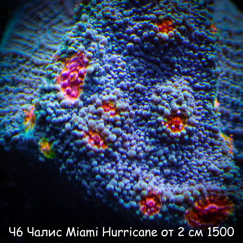 Ч6 Чалис Miami Hurricane от 2 см 1500