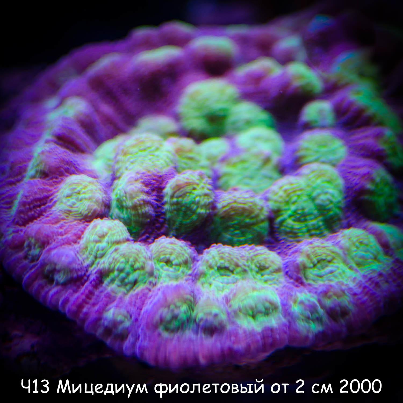 Ч13 Мицедиум фиолетовый с зелеными ртами от 2 см 2000