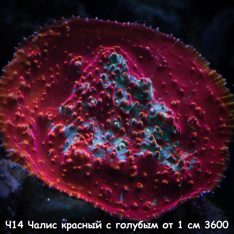 Ч14 Чалис красный с голубым от 1 см 3600