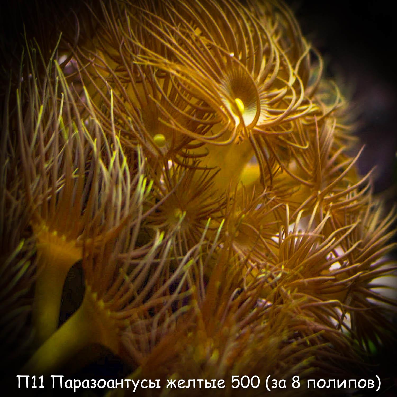П11 Паразоантусы желтые 500 (за 8 полипов)