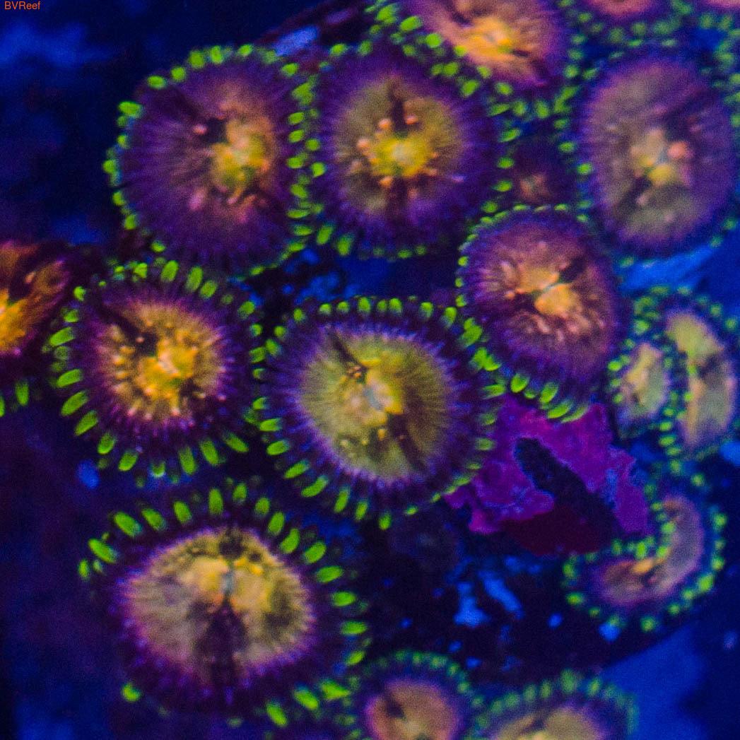 П13 Палитоя зеленая 700 (за 3 полипа)