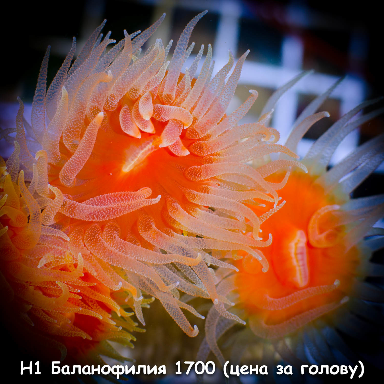 Н1 Баланофилия 1700 (цена за голову)