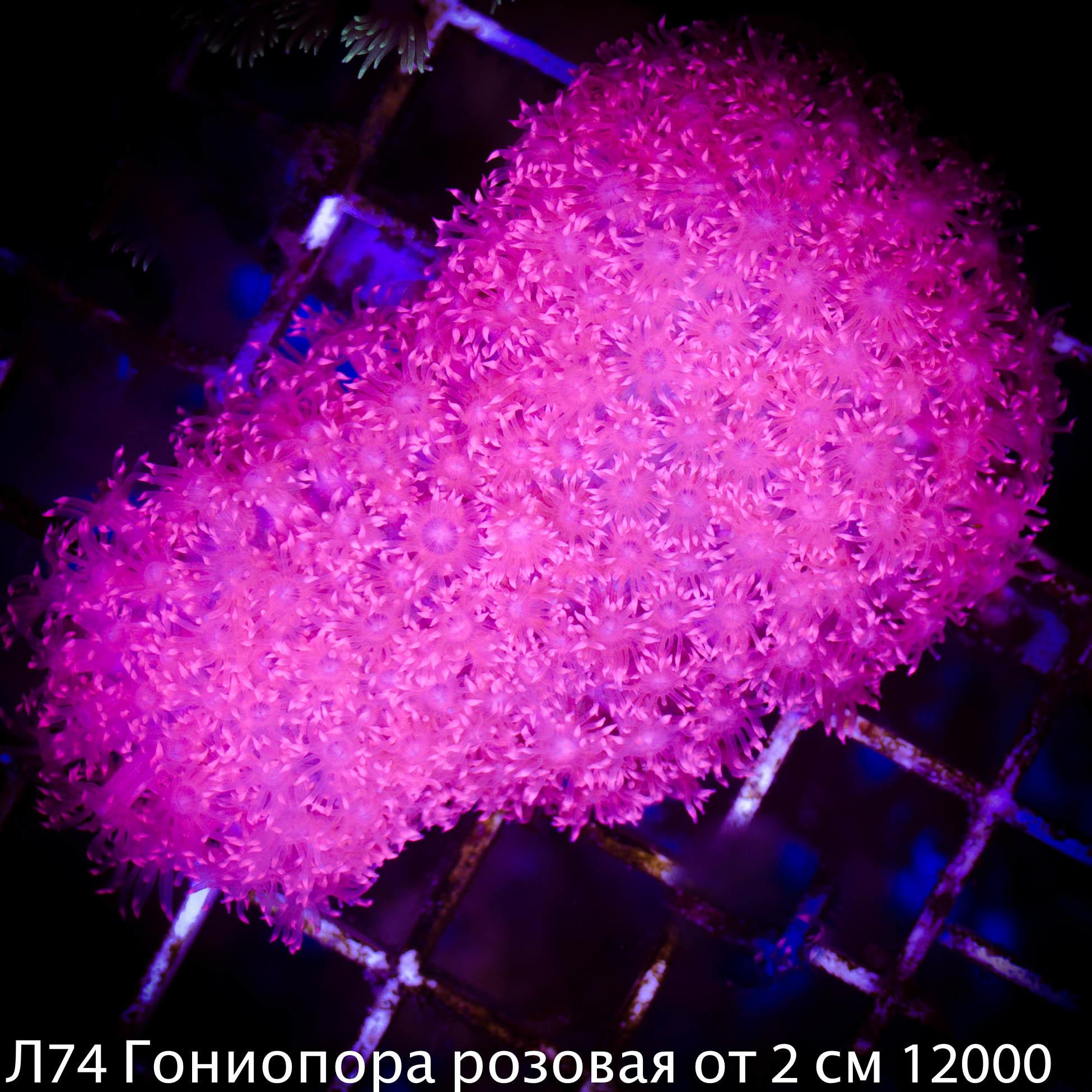 Л74 Гониопора розовая от 2 см 12000