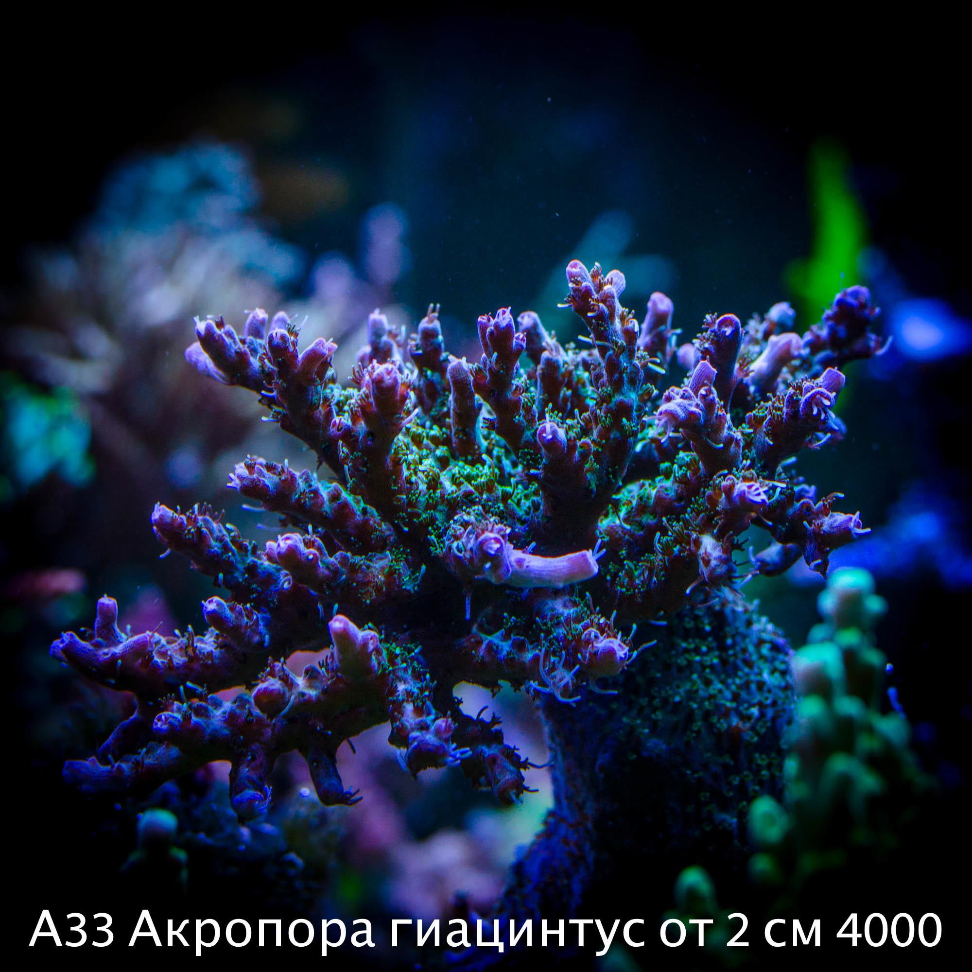 А33 Акропора гиацинтус от 2 см 4000