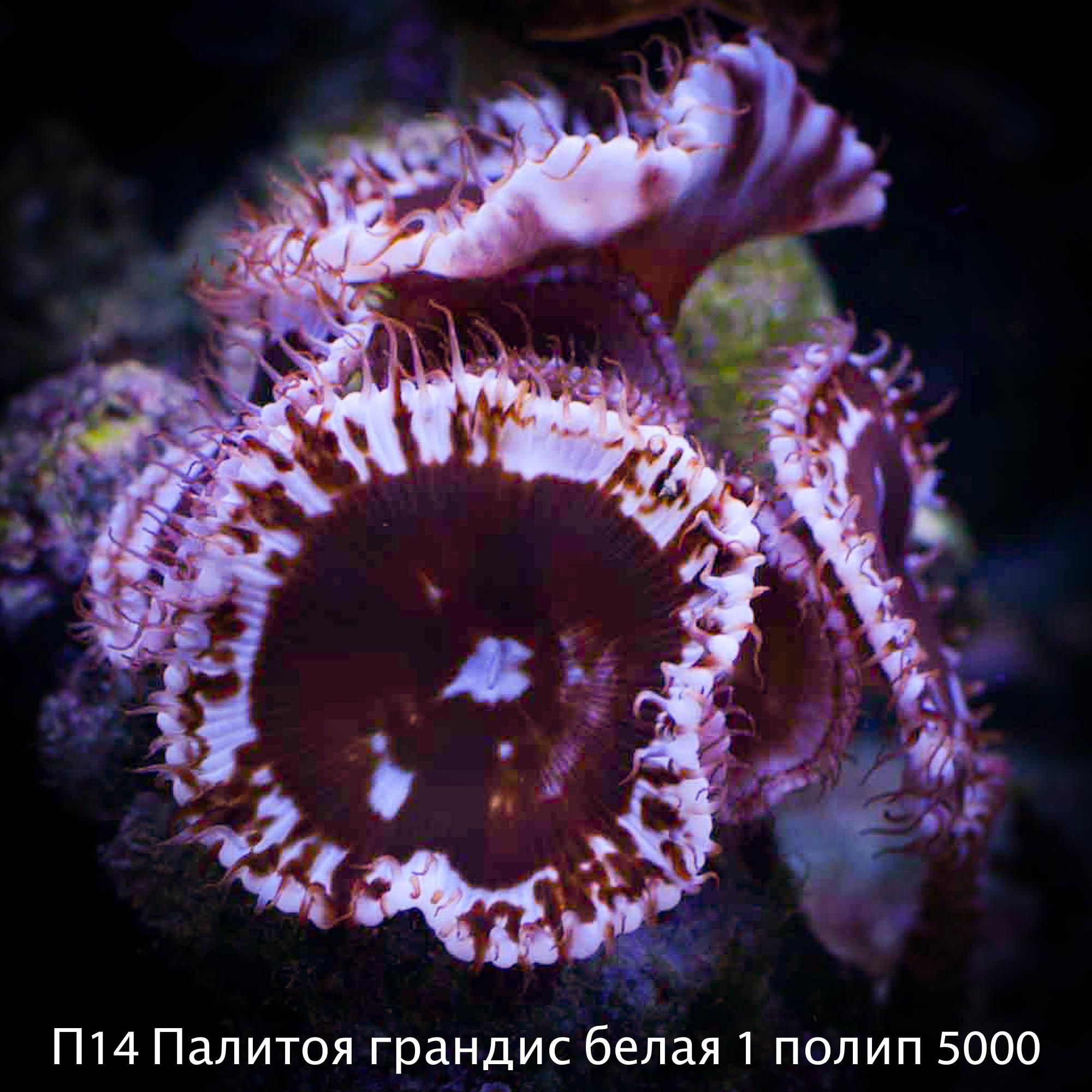 П14 Палитоя грандис белая 1 полип 5000
