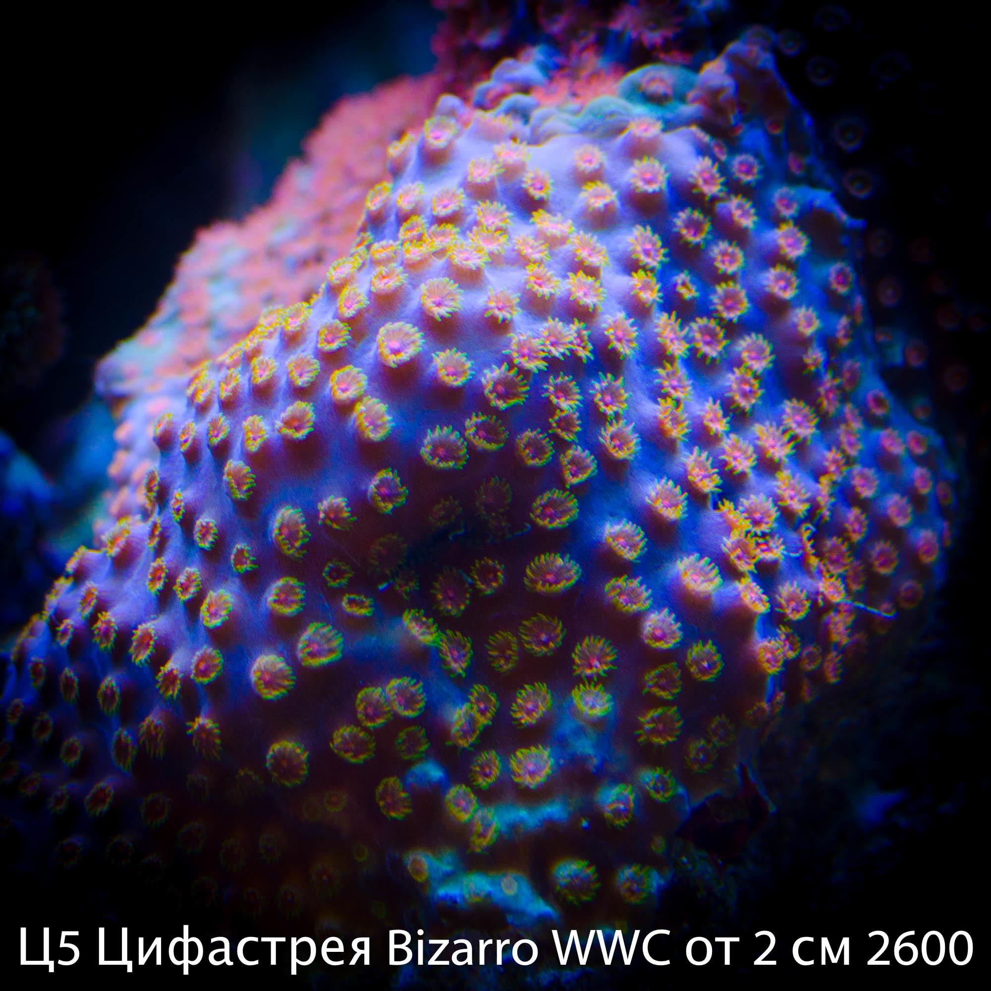 Ц5 Цифастрея Bizarro WWC от 2 см 2600